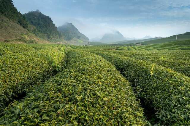 Gia công serum trị mụn sử dụng chiết xuất trà xanh